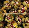 2011 New China Fresh Chestnut from Yanshan Mountain