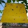Yellow Sticky Fruit Fly Trap Insect Glue Board hot sale from Chinese factory