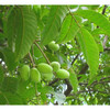 Water-solubility olive leaf extract Hydroxytyrosol