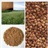 China buckwheat