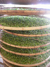 Green Tea, Organic Tea, Fujian Brand Tea