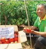 Dingfeng No.5 Determinate Tomato Seeds for open field