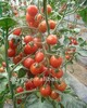 ZhongYan 156 Pink Cherry Tomato Seeds