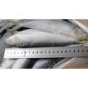 Grade B frozen sardine
