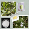 Rosemary extract/loquat leaf extract ursolic acid powder 90%/98%