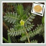 100% Pure Natural tribulus terrestris extract Tribuloside 40%,50%,60%