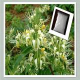 100% Honeysuckle flower extract Cynaroside CAS#5373-11-5