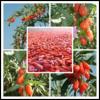 organic certified goji berry