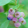 Anthocyanidin of Vaccinium myrtillus/Bilberry Extract to Protect Eyesight