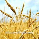 Indian durum wheat with good price
