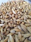 Animal feed barley prices from Ukraine with big bulk