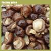 cultivating edible shiitake mushrooms