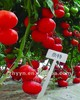 Naite TY Resistant of Tomato Seeds