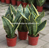 golden green Sansevieria for indoor ornamental bonsai plants