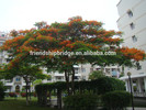 outdoor ornamental landscape blooming plants of Delonix regia (Boj.) Raf