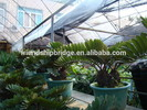 foliage ornamental decorcative landscape bonsai plants of zamia furfuracea