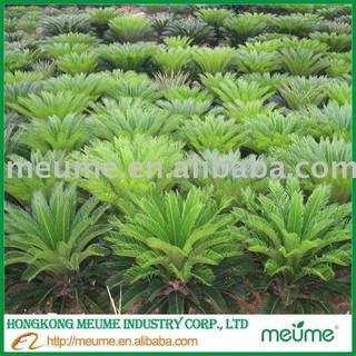 Tropical Tree Cycas Revoluta Sago Palm