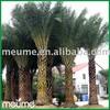 Phoenix Sylvestris (Silver Date Palm) Palm Trees Nursery