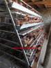 laying egg chicken cage -cage come with all the necessary fittings