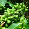 100% Natural Green Coffee Bean Extract