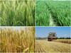 vital wheat gluten used animal feed high protein