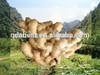 2014 new Fresh air dried ginger