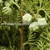 100kg Cedar Seed Essential Oil (Thuja Orientalis), CAS 8000-27-9