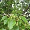 100kg Camphor Essential Oil 40%(Cinnamomum camphora), CAS 8008-51-3, FEMA 2231