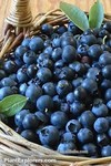 Bilberry extract quality