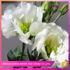 fast delivery and small MOQ  choose Fresh cut eustoma flower