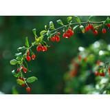 low pesticides goji berry size 280