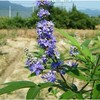 Natural Vitex Agnus Castus Extract Chasteberry Powder