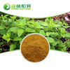 Wholesale Powder Mint Flavor Extract Mint Leaf Extract Mint powder price