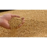 Milling Wheat #4