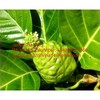 Noni Extract Powder/Noni Fruit Extract to Enhance Immune Function