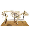 Pig Skeleton Real Animal Skeletons