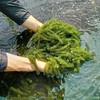 Sea Grapes Seagrapes- With High Quality From Vietnam